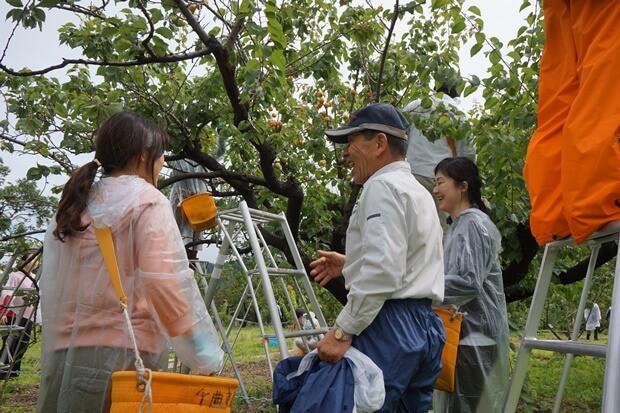 KIRINコラボバイト_「杏露酒」のあんず収穫_11