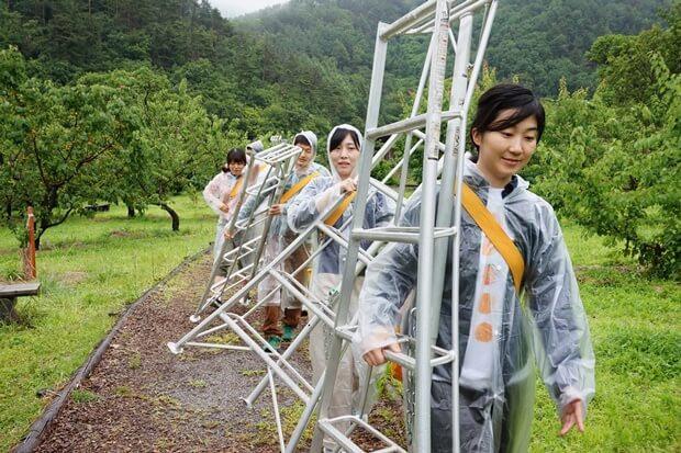 KIRINコラボバイト_「杏露酒」のあんず収穫_06