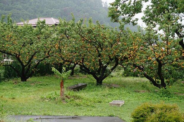 KIRINコラボバイト_「杏露酒」のあんず収穫_02