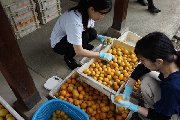 KIRINコラボバイト_「杏露酒」のあんず収穫_19
