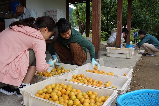 KIRINコラボバイト_「杏露酒」のあんず収穫_18