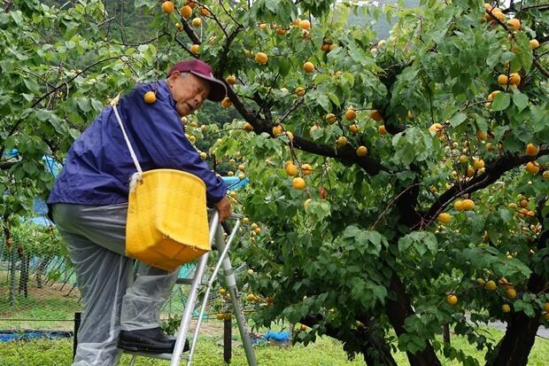 KIRINコラボバイト_「杏露酒」のあんず収穫_07