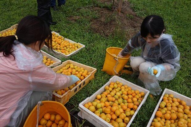 KIRINコラボバイト_「杏露酒」のあんず収穫_14
