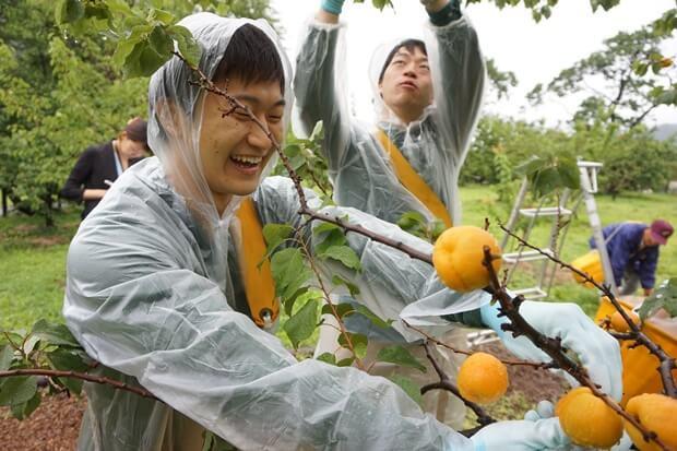 KIRINコラボバイト_「杏露酒」のあんず収穫_10