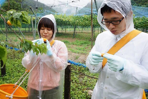 KIRINコラボバイト_「杏露酒」のあんず収穫_12