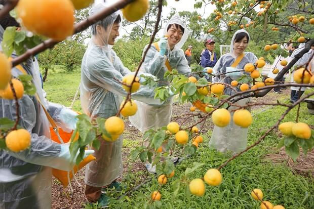 KIRINコラボバイト_「杏露酒」のあんず収穫_09