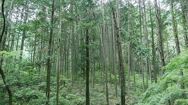 針葉樹はこんな感じ。確かに整理された感がある