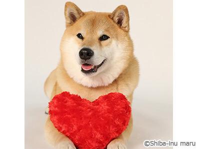 柴犬まる まるちゃん かわいい 癒し 激レア 芸能 タウンワーク タウンワークマガジン townwork