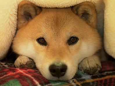 柴犬まる インスタグラム
